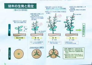 幼木の生育と剪定