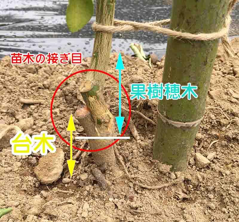 苗木の接ぎめ