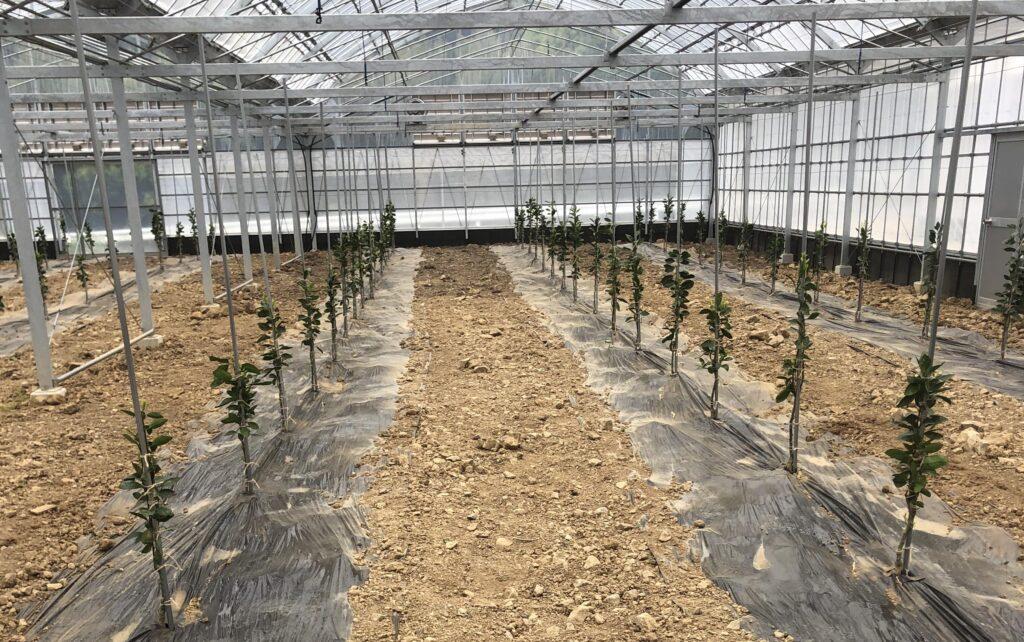 植え付け時の4月苗木